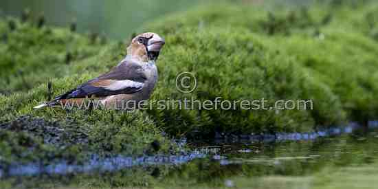Hawfinch (Coccothraustes)