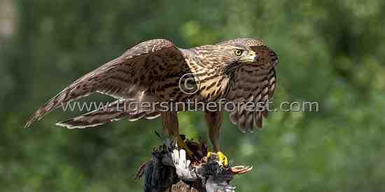 Northern Goshawk (Accipiter gentilles)