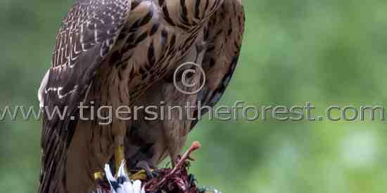 The powerful Northern Goshawk (Accipiter gentiles)