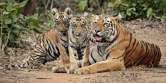 Tadoba tigress (Panthera tigris tigris) and her cubs
