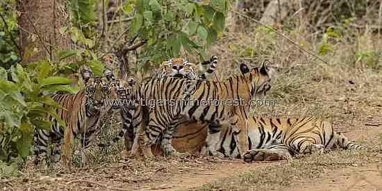 'Madhuri' tigress (panthera tigris tigris) together with her four little cubs