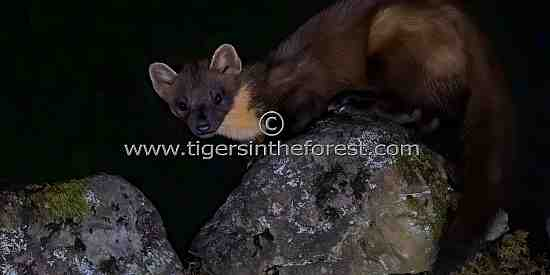 Pine Marten (Martes martes) seen during the nighttime in Scotland