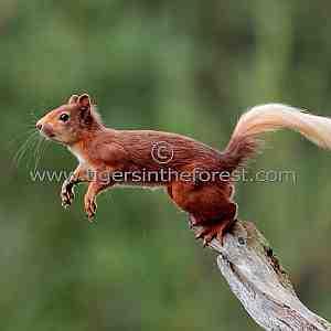 Red Squirrel (Sciurus Vulgaris) about to jump