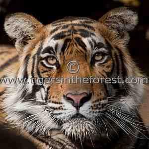 Ranthambhore male tiger (Panthera tigris tigris)