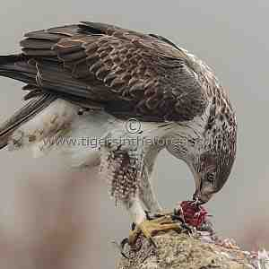 A female Bonelli's Eagle feeding.