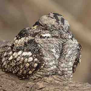 Indian Nightjar (Caprimulgus asiaticus)