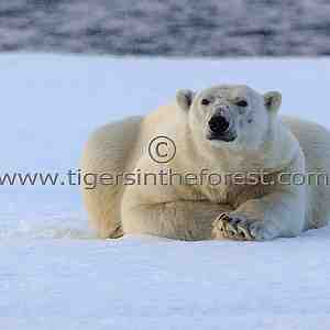 An adult male Polar Bear (Ursus Maritimus) resting on the ice flow