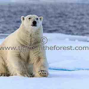 Curious male Polar Bear (Ursus Maritimus)