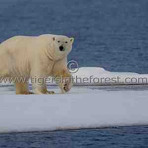 Male polar Bear on ice flow