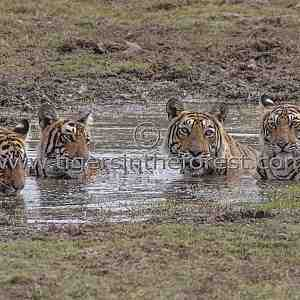 One of my favourite photos of a Tigress (Panthera tigris tigris) with cubs