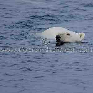 Polar bear (Urus maritimus)