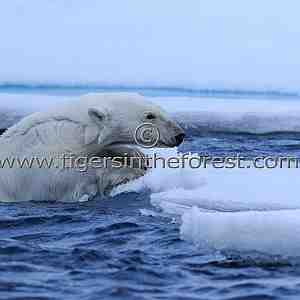 Polar Bear (Ursus Maritimus)-Climbing aboard
