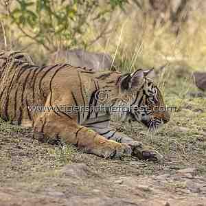 Young tigress (Panthera tigris tigris) crouching