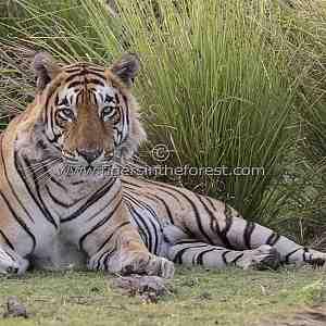 Ranthambhore's 'Star' male tiger (Panthera tigris tigris)