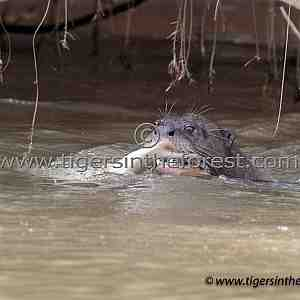 Giant River Otter (Pteroneura Brasiliensis)