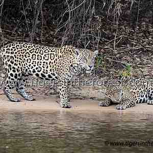 Mother (Panthera Onca) and daughter