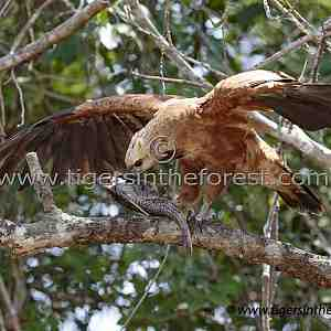 Black Collared Hawk (Busarellus Nigricollis)