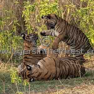 Loving tigress with her 2 small cubs