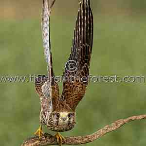 Kestrel (Falco tinnunculus) about to fly