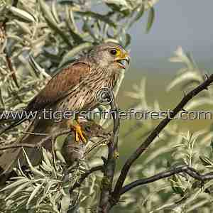 Kestrel ( Falco tinnunculus) with food for its young.
