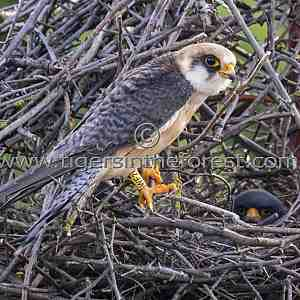 A female red footed falcon (Falco vespertinus) at its nest.