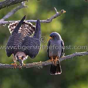 A pair of Red footed falcons (Falco vespertinus)