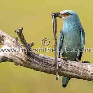 Eurasian Roller (Coracias garrulus) with grass snake kill