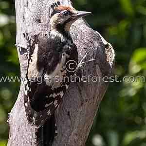 Syrian Woodpecker (Dendrocopos syriacus)