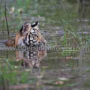 Tiger cub (Panthera tigris tigris)