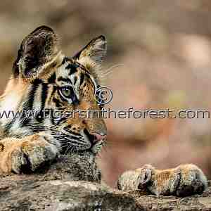 Young male tiger at Bandhavgarh (Panthera tigris tigris)