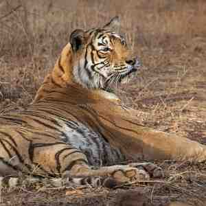 Machali the Queen of Ranthambhore (Panthera tigris tigris)