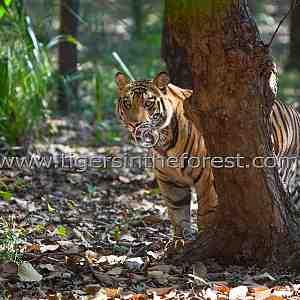 Young 'Kelua' stalking (Panthera tigris tigris)
