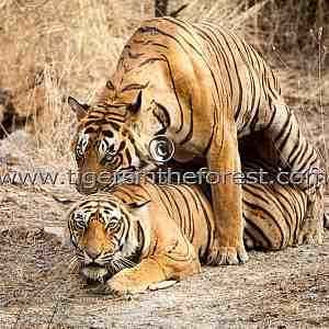 Tigers mating (Panthera tigris tigris)