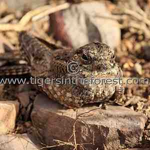 Common Indian Nightjar (Caprimulgus asiaticus)