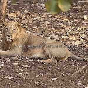 An Asiatic lion (Panthea leo persica) taking a rest in the forest of Gir.