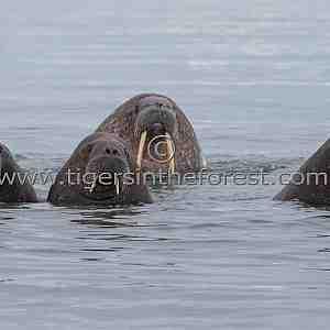 Walruss family (Odobenus rosmarus)