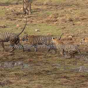 Krishna (Panthera tigris tigris) leading her three cubs