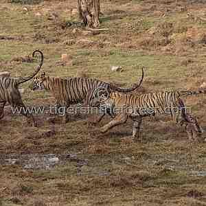 Krishna leading her three cubs