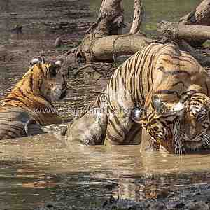 A young sub-adult tiger (Panthera tigris tigris) having fun with her mother in the water.