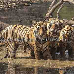 Tigress (Panthera tigris tigris) Noor with two of her cubs at a waterhole