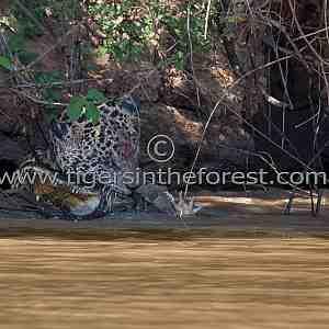 Jaguar (Panthera Onca) killing Caiman (Melanosuchus Niger)