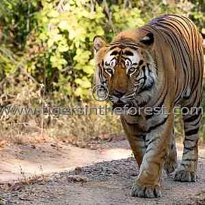 Bandhavgarh's Bamera male tiger (Panthera tigris tigris)