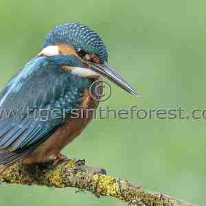 Kingfisher (Alcedo atthis) seen at a river in West Sussex.