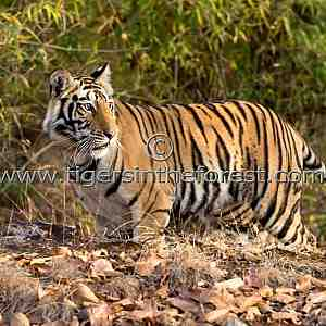 Young Bandhavgarh tigress about to disperse (Panthera tigris tigris)