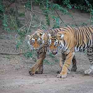 Ranthambhore tigress with sub-adult cub (Panthera tigris tigris)