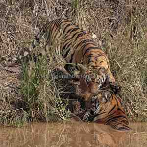 Tiger cub (Panthera tigris tigris) greeting mother at water hole