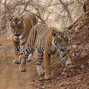 Tigress and sub adult male cub (Panthera tigris tigris)