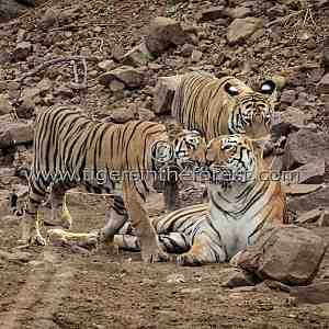 Tigress (Panthera tigris tigris) being greeted by her two cubs