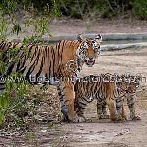 Tigress (Panthera tigris tigris) with cubs