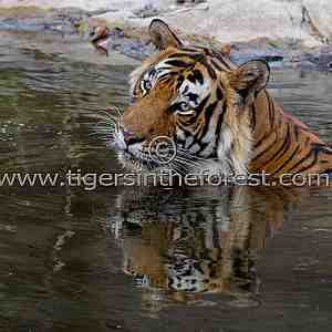 A cool reflection (Panthera tigris tigris)